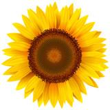 Fototapety Vector sunflower.