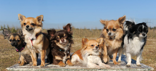 groupe de chihuahuas