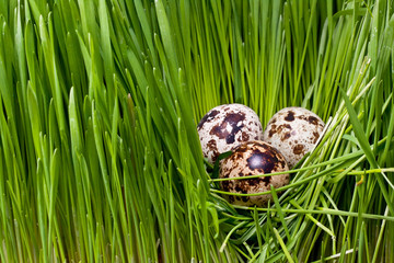 Nest with three quail eggs