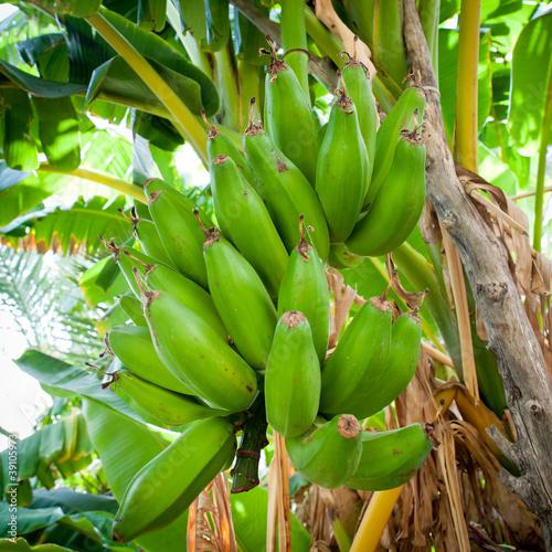 Bunch of bananas hanging from a banana tree (Salalah, Oman)