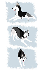 Siberian Husky 2
