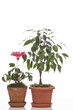 Hibiskus flower and ficus  tree  in  pots