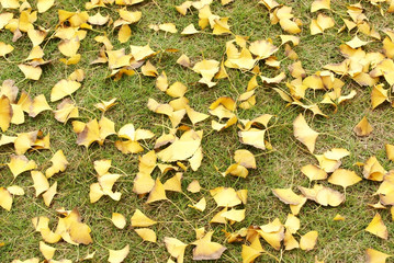 Ginkgo tree leaves on grass plot