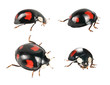 ladybirds  beetle - black variety.