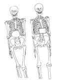 Two skeletons on a white background