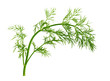Fennel Leaf