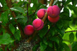 Fruits - Plum Tree