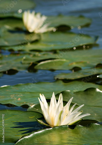 lilies between leaves