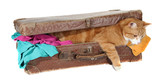 snoopy tomcat in old suitcase with clothes poster