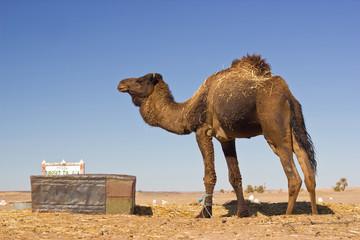 camel in the Sahara desert