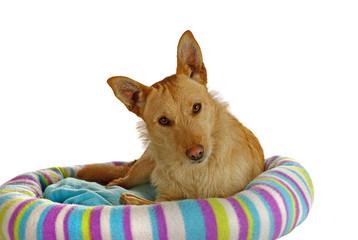 Jack Russel Terrier auf seinem Hundebett