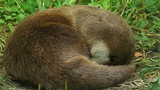 Cute sleepy male river otter cuddling on green grass