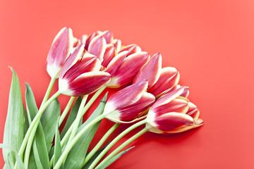 Frische Rote Tulpen