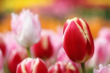 チューリップ(Tulipa)畑