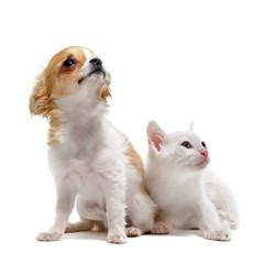 chiot chihuahua et petit chat
