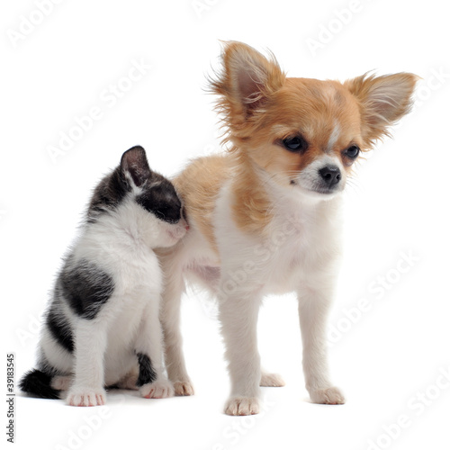 chiot chihuahua et petit chat