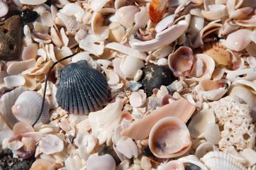 Muschelvielfalt