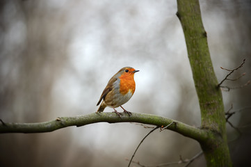 European Robin Redbreast perched on a branch