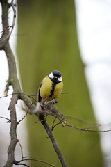 Great Tit (parus major) perched on a branch, looking at camera