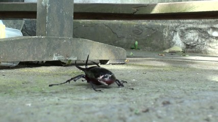 Black beetle running