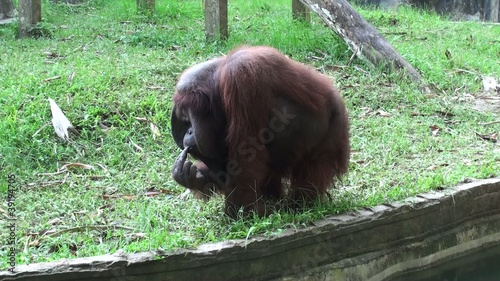 Orangutan fascinated meal