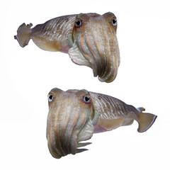 Cuttlefish on isolated white background