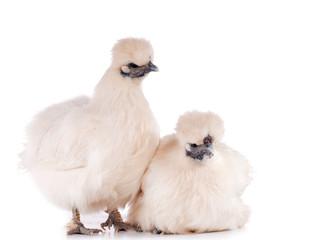 poules Nègre-soie sur fond blanc