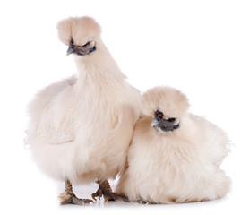 deux poules Nègre-soie