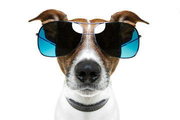 dog with blue shades bored to tears frontal