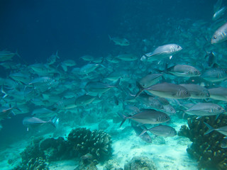 huge school of jackfish