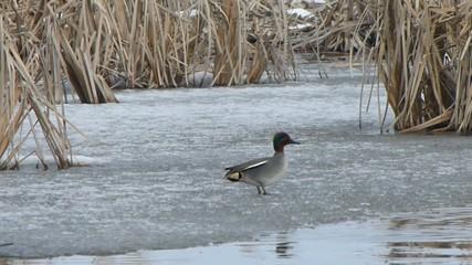 Alzavola sul ghiaccio