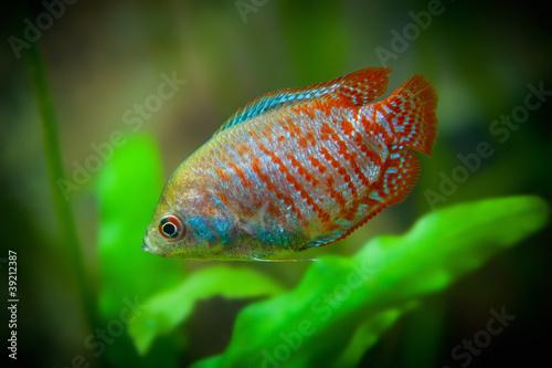 Colisa lalia, Aquarian small fishes