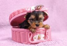 Yorkshire-Terrier-Hundewelpenportrait