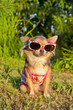 Chihuahua in the park