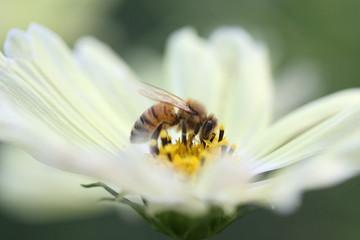蜜蜂と黄色コスモス