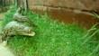 Angreifendes Krokodil