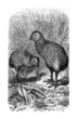 Bird - Kiwi