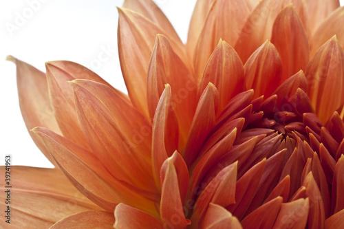 Staande foto Gerbera rote Blüte © Matthias Buehner