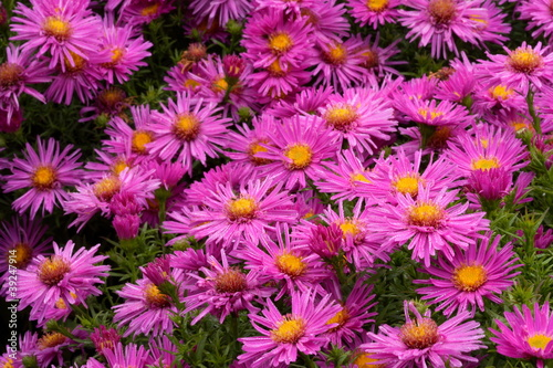 canvas print picture Aster dumosus `Alice Haslam´