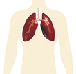 human toso with lungs vector