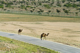 Camels on the road  in Oman, Middle East poster