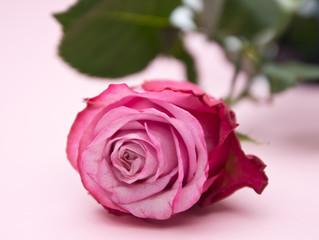 Rosa Rose ganz nah
