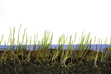 Growing grass in six stages, stage two