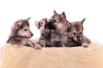 vier Woflshund Welpen im Hundebett