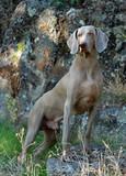 Weimaraner dog, full body portrait poster