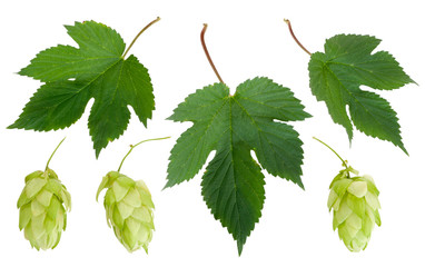 A set of cones and leaves, hops, isolated on white background