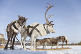 Fototapety Reindeers in harness