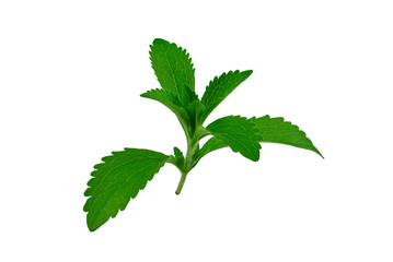 Stevia rebaudiana isolated on white background