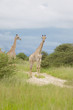Giraffe - Safari in Afrika