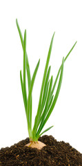 green onion in earth